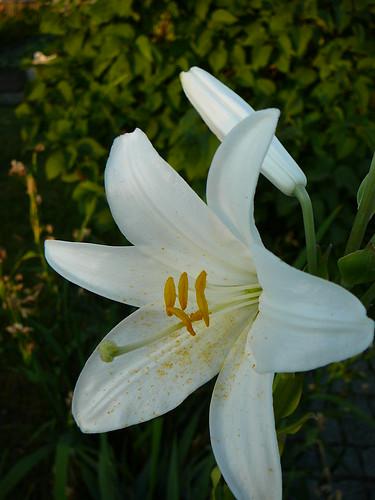 weiße Lilie (02)