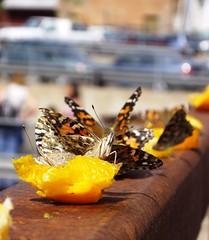 Brunch al fresco (MoBu67) Tags: butterflies oranges mariposa paintedlady