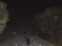 PC150023a (Blake the Black) Tags: penguin tasmania tassie bicheno