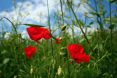 Poppies - Week 24 of 52