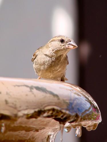 sparrow giving me the eye
