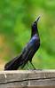 Great-tailed Grackle - male (truan) Tags: male bird display grackle greattailedgrackle behavior blackbird coloradobirds