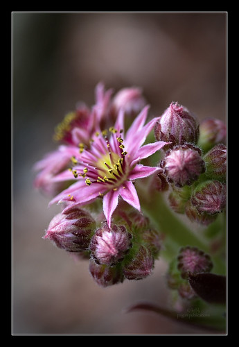 flowering hen & chicks