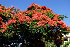 Tenerife en Flor (El Loco de Smara) Tags: flowers naturaleza flores colors rojo rboles natureza colores tenerife fiori flamboyan