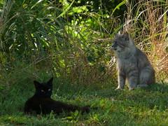 Cats070108A (robert_rvnwd) Tags: mini chewie