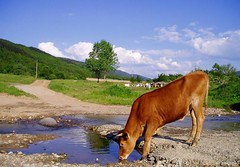 Thirsty Cow (Pavel Pronin) Tags: mountains landscape cow bulgaria naturesfinest pravets българия balkanmountains старапланина планини