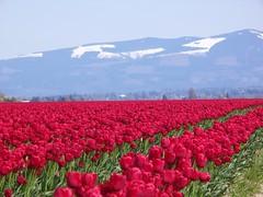 Red Tulips (aardvarkvert) Tags: pictures flowers flower washington no tulip skagit limits