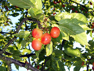 Cherries on the hoof
