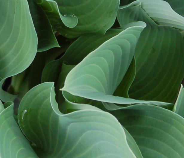 green_leaves_615x529