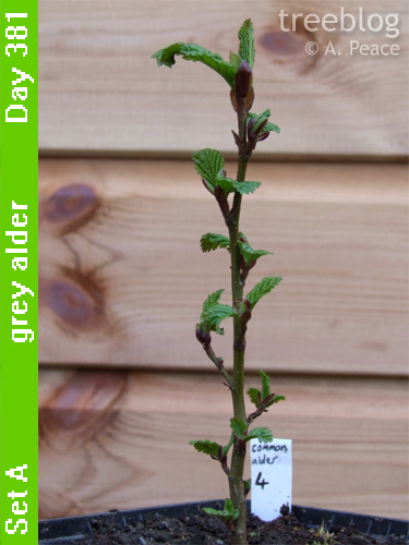 grey alder No. 4 is flushing