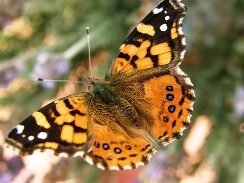 Mariposa en detalle