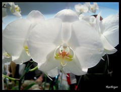 Phalaenopsis (roxboyer) Tags: flowers orchid nature argentina buenosaires shot awesome flor blossoms group estudio phalaenopsis vision ojos orquidea tres gems multi mega jardnjapons blueribbonwinner digitalcameraclub flowerotica abigfave colorphotoaward visiongroup goldstaraward wonderfulworldofflowers mimamorflowers roxboyer roxanaboyer