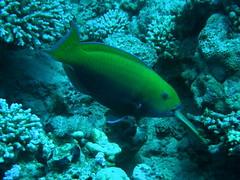 Pez loro de cabeza empinada / Steephead parrotfish (Chlorurus gibbus) (copepodo) Tags: pez fauna redsea diving jordan loro aqaba buceo parrotfish jordania submarinismo marrojo scaridae