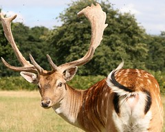 Fallow Deer (Dama Dama) (Manav Gupta) Tags: summer london daylight horns doe deer flies fallowdeer hampton manav injured widlife bushypark browncoat capreolus capreoluscapreolus goldstaraward royalandfallowdeer whitemottles manavgupta mgupta gmanav