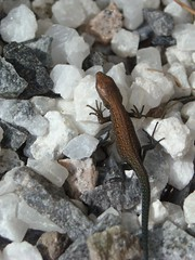 Tiny Viviparous Lizard (Elsa Kurppa) Tags: suomi finland lizard 2008 ödla lisko viviparouslizard commonlizard sisilisko ящерица финляндия zootocavivipara skogsödla elsakurppa