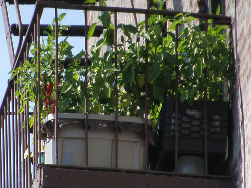 Fire Escape Peppers - September 2, 2008