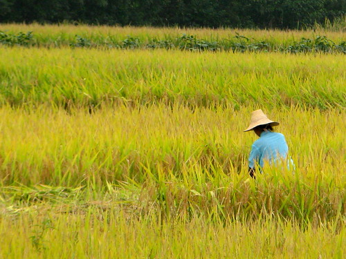 Rice ready for harvest near Luan, Anhui Province, China