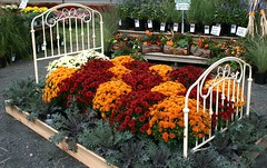 Flower Bed (Jeanie's Pics) Tags: flowers plants nature bed searchthebest massachusetts mums flowerdisplay bedofflowers southwickma mountainviewfarms