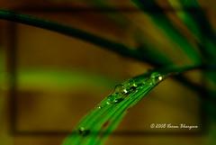 Dew (Varun Bhargava) Tags: india green leaf nikon dew karnataka 1855mmf3556g coorg bharat d40 challengeyouwinner pfogold varunbhargava kirgoor