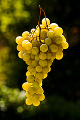 l'uva e' matura     **  grapes mature (paolo brunetti) Tags: green yellow dof bokeh grapes uva autunno golddragon goldstaraward natureselegantshots goldenheartaward
