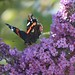 Red Admiral Butterfly, Vanessa atalanta on Buddleia
