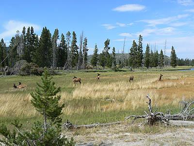 mule deers au bord de la rivière.jpg
