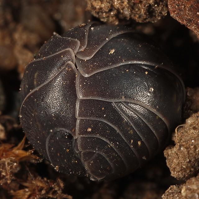 Pillbug (Armadillidium vulgare)