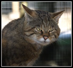 Scottish Wildcat (Michael Brewis (Northumbrian Blue)) Tags: wild portrait nature cat scotland wildcat kingussie highlandwildlifepark