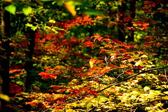 Fall Delight (cstein96) Tags: autumn red orange fall nature leaves yellow outdoors virginia nationalpark branch bokeh hiking shenandoahvalley oldragmountain hbw ruralvirginia abigfave nikond40x
