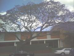 Pic_1103_079 (tchiseen) Tags: mobile photos jacaranda