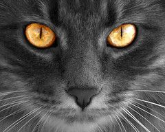 Look in to my eyes (joecrowaz) Tags: cats photoshop eyes bestofcats 100commentgroup creattività alittlebeauty 100commentjulycomp bestofspecialpetportraits