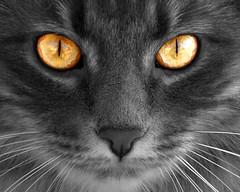 Look in to my eyes (joecrowaz) Tags: cats photoshop eyes bestofcats 100commentgroup creattivit alittlebeauty 100commentjulycomp bestofspecialpetportraits