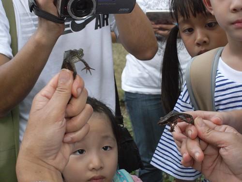 你拍攝的 17觀察台北樹蛙與牛蛙。