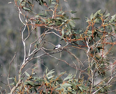 It's a... White-winged Triller! (Pink Thistle) Tags: triller australianbird orroralvalley whitewingedtriller lalagetricolour