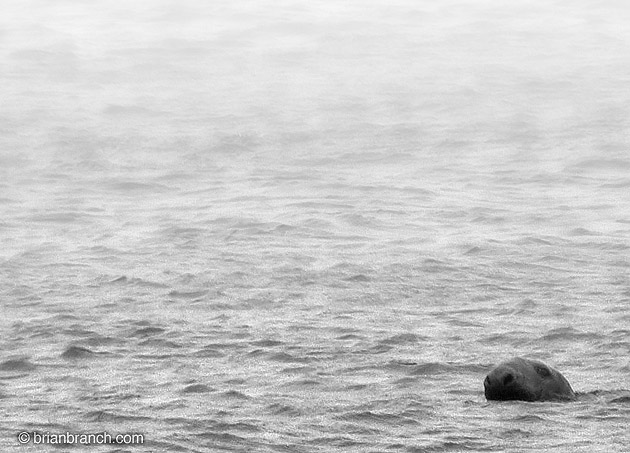 Seal in Baie de Caraquet