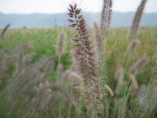 Dog tail grasses - 02