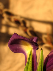 (Tölgyesi Kata) Tags: iris withcanonpowershota620 írisz nőszirom fleur virág