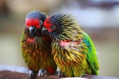 Chatty Lorikeets (dSLRartist) Tags: bird canon rainbow 5d parrots lorikeets avian