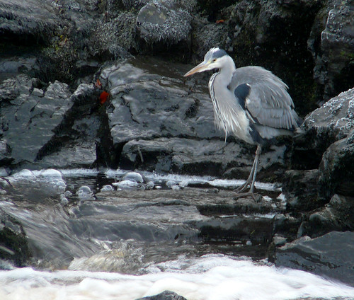 Heron by River Ayr 29Nov08