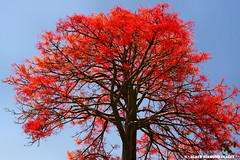 Brachychiton acerifolius - Illawarra Flame Tree (Black Diamond Images) Tags: red flower rainforest native australia explore nsw queensland malvaceae stockton flametree huntervalley nativeplants floweringtree floweringtrees tropicalflowers australiannativeplant sterculiaceae rainforests australianflora australiannativeflowers brachychitonacerifolius beautifultrees australianflowers brachychiton australiannativeplants australianplants illawarraflametree australianflametree rainforestplants rainforestplant australianrainforest arfp australianrainforests blackdiamondimages australianrainforesttree australianrainforestplant australianrainforestplants australianrainforesttrees flowersrainforest rainforestflowers floweraustralian australianrainforesteducation redfloweringtrees australianrainforestflowers arfflowers australianfloweringtrees redfp redarfflowers tropicalarf lowlandarf uplandarf subtropicalarf flowersaustralian tropicalrainforestflowers