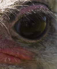 Beauty is in the Eye of ....... (s1ngerman) Tags: macro nature face birds animals canon reflections zoo eyes expression wildlife ostrich eyebrows animalpark wildanimals
