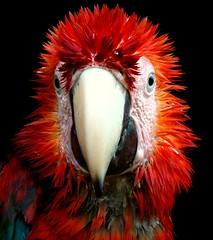 [フリー画像] [動物写真] [鳥類] [インコ科] [ベニコンゴウ]       [フリー素材]