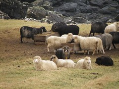 Faroese sheep - some are eating, others are resting (Eileen Sand) Tags: beach nature coast rocks sheep faroeislands faroes froyar faroese sandoy seyur worldofanimals skarvanes