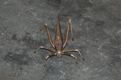 african grasshopper