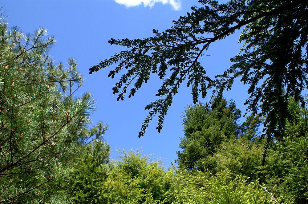 南湖大山day2-66 多種針葉樹
