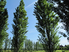 Lombardy Poplars