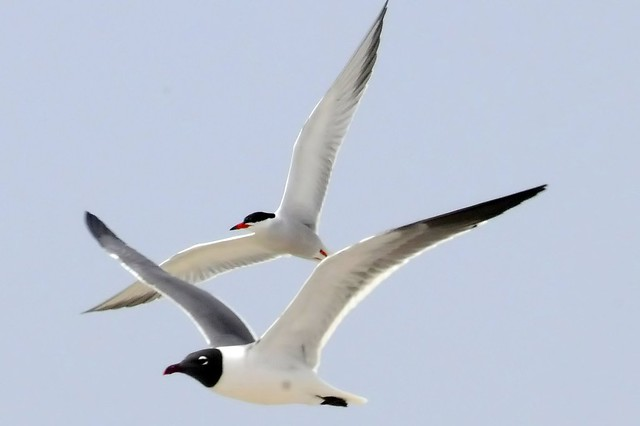 tern and gull