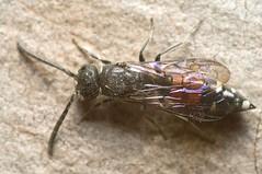 Sapyga quinquepunctata (Will_wildlife) Tags: sandy thelodge rspb