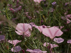 Pink Morning Glory (David R. Crowe) Tags: plant flower history nature europe places greece angiosperms angiosperm greekhistory convulvulaceae