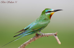 Blue-cheeked Bee-eater     -   () Tags: blue bird birds bin bee sultan qatar  birdwatchers    cheeked              eater